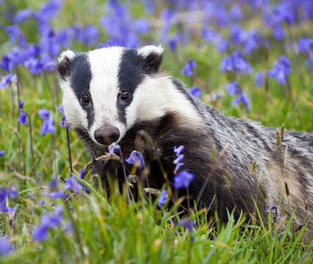 Badger culling drives animals further afield increasing risk of TB spread