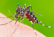 Releasing artificially-infected mosquitoes could cut global dengue cases by 90%