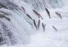 Saving salmon and coronavirus outbreak: News from the College