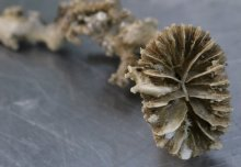 Coral fossils reveal how changing wind patterns affect ocean circulation and CO2