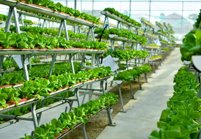 A large greenhouse stacked with hydroponic plants