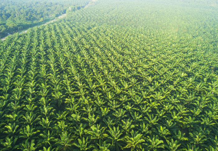 Aerial view of a palm plantation