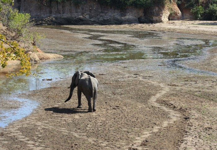 Elephant in a drying river bed