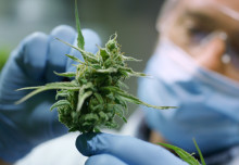 Cannabis pain insights and kidney disease discoveries: News from the College
