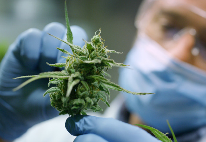 Man in gloves and mask looking at a cannabis bud