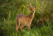 Chinese water deer introduced to UK may be valuable to restoring numbers in Asia