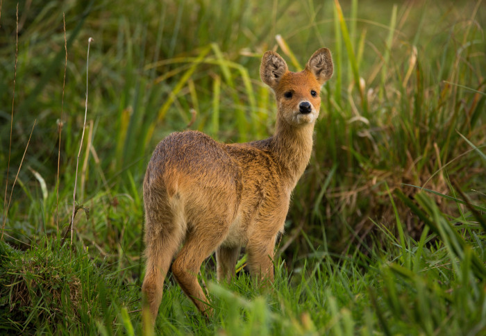 Chinese water deer among grass looks towards camera