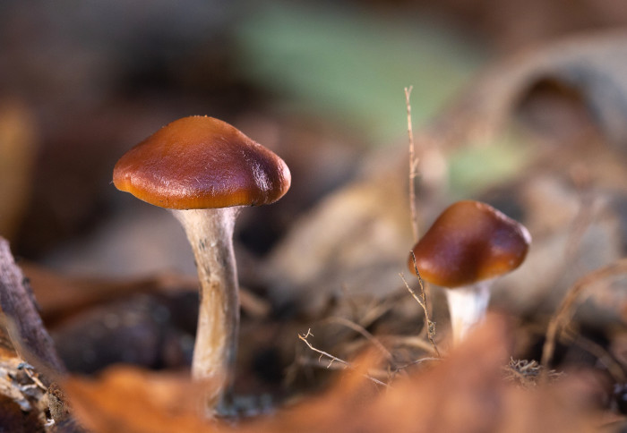 Psilocybe cyanescens mushrooms growing in the wild
