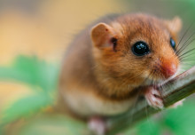 Researchers have devised a new sampling method for the elusive hazel dormouse
