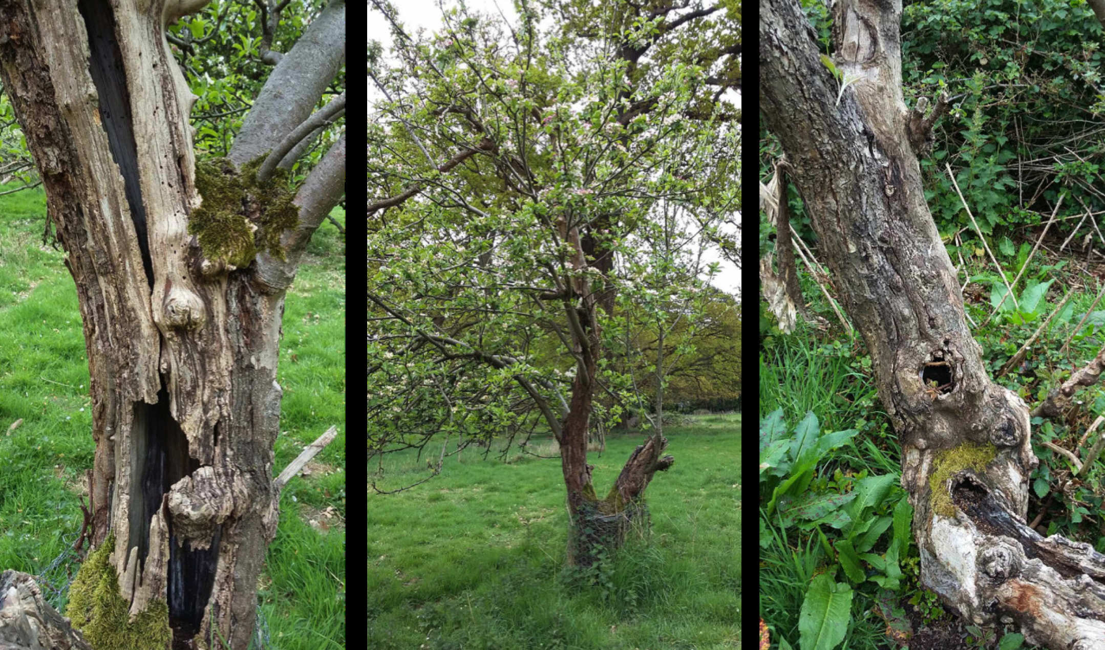 old apple trees