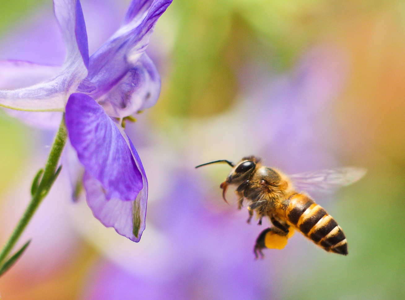Photo of a bee about to land on a purple flower
