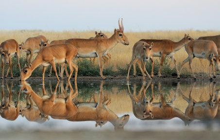 A group of antelope