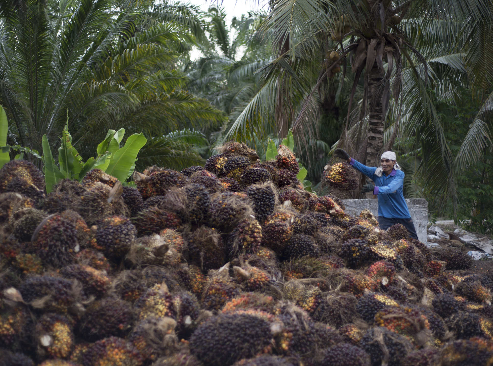 Woman harvesting palm oil