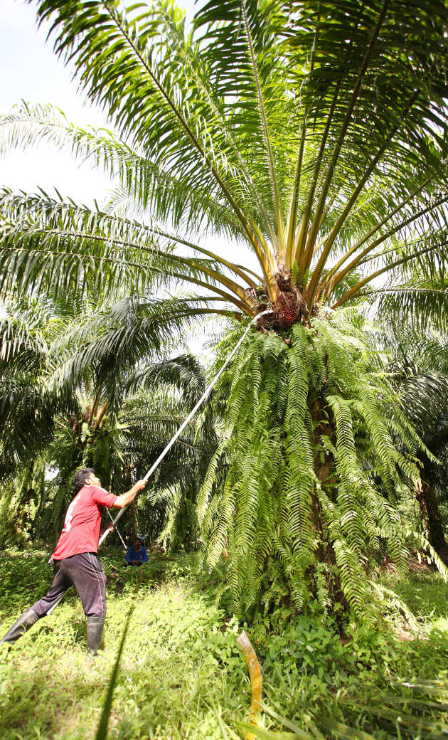 Man harvesting palm oil