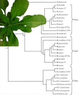 Phylogenetic tree of HrpR/HrpS