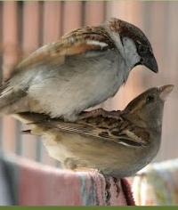 Mating House Sparrows