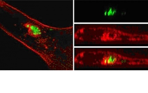 Figure 2: Salmonella (green) induces the polymerisation of a meshwork of F-actin (red) during intracellular replication