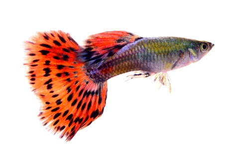 A guppy fish on white background