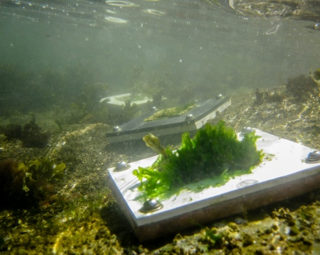 Small rectangular plates with different organisms on them underwater.