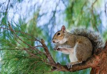 Protecting mainland Europe from an invasion of grey squirrels