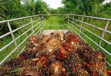 Increasing oil palm yields may not help to conserve tropical forests