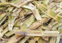 Bioenergy crops are not a risk to food production, says a new report