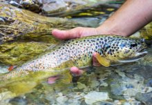 Increased nutrients help predatory brown trout thrive in higher temperatures