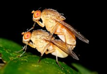 Sexually aroused male flies unable to sleep after close encounters with females