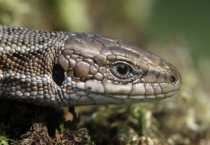 Common lizard (Credit: Emi/Shutterstock)