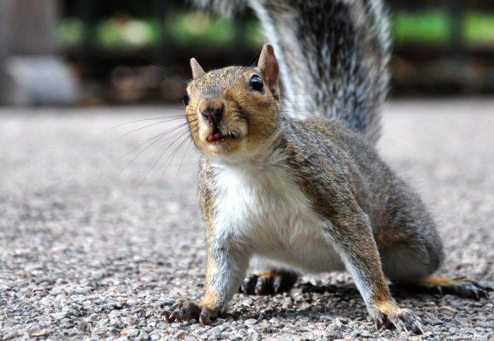 Don\'t blame grey squirrels: their British invasion had much more to ...