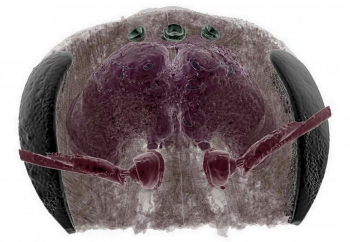 See-through bee head with brain imaged