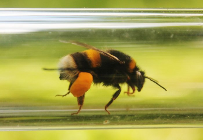 A bee in a tube with a leg full of pollen