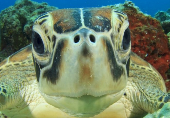 A sea turtle looks directly into the camera