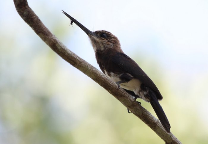 Bird on a branch with a long beak holding an insect